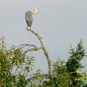 "Link to Facebook album ""A Great Blue Heron Perched at the Top of our Tall Tree - 9/1/09"""
