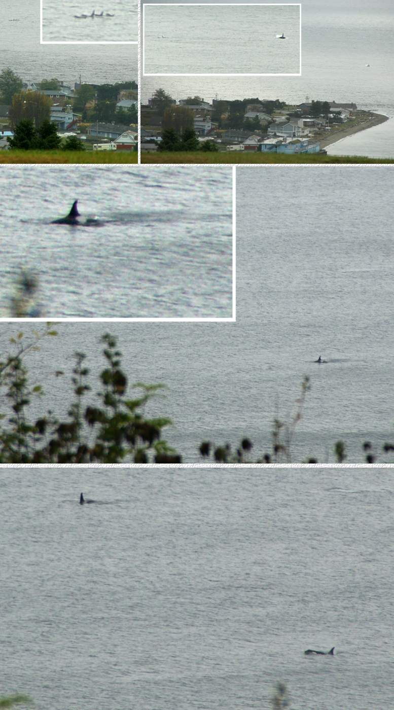 Killer whales as seen from our deck on 11/6/08